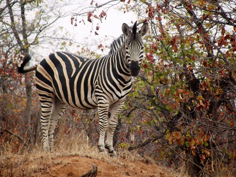 Zebra at Machampane