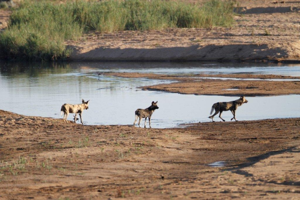 Wild Dog visitors