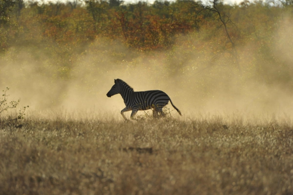 zebra-in-the-morning-light